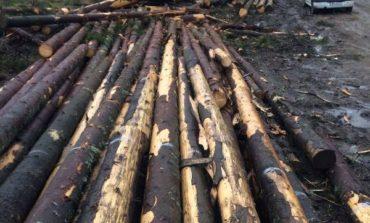 Scutul pădurii: Bărbat din Valea Lungă, cercetat penal după ce a tăiat fără drept 218 arbori nemarcați