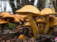 DSP Alba transmite sfaturi și recomandări privind consumul de ciuperci: Simptomele care anunță intoxicația