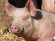 DSVSA Alba interzice comercializarea porcilor în târgurile de animale din judeţ