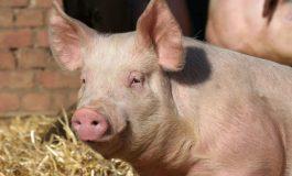 DSVSA Alba: Avertizare pentru fermieri. Primul focar de pestă porcină africană a fost confirmat în România