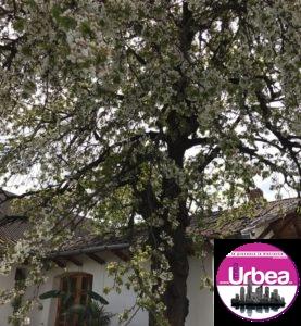 Cel mai mare cireș din Europa este la Petrești și are o poveste impresionantă. Lucian Blaga și Dorin Pavel au scris istorie la umbra copacului