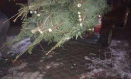 FOTO: 70 de pomi de Crăciun au fost confiscați de poliţiştii din Cîmpeni, în urma unui control în trafic