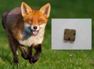 Campanie de vaccinare antirabică a vulpilor, prin distribuția aeriană și manuală a momelilor