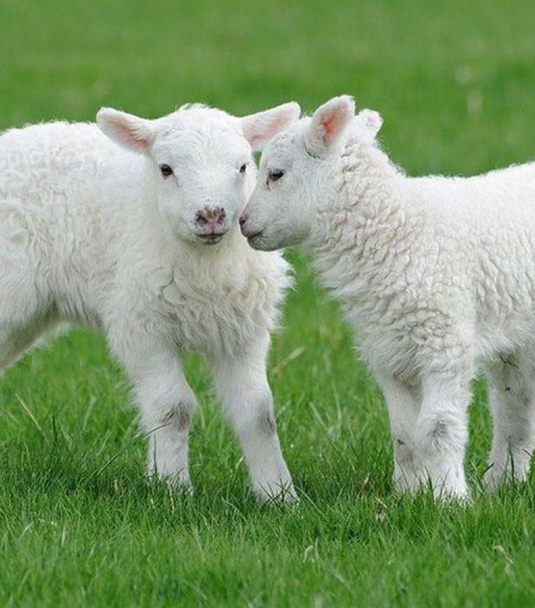 Crescătorii de ovine își pot sacrifica mieii în abatoarele autorizate sanitar veterinar și pentru siguranța alimentelor