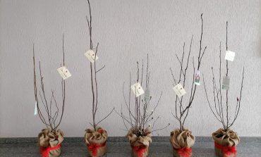 Primarul Dorin Nistor a oferit arbuști de magnolii celor 5 secții pavilionare ale spitalului din Sebeș
