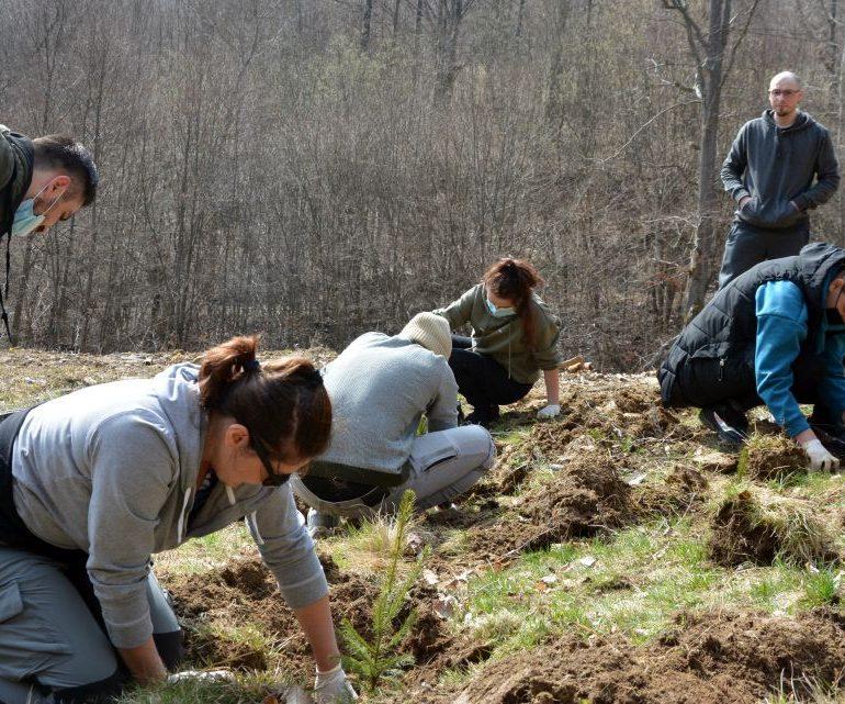 Un grup de tineri albaiulieni au plantat aproape 500 de puieți de molid