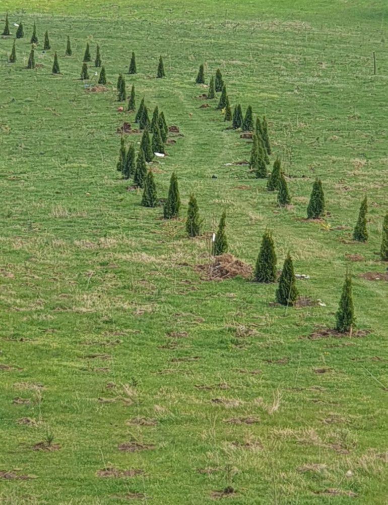 23.359 de copaci au fost plantați la Sebeș în luna Aprilie
